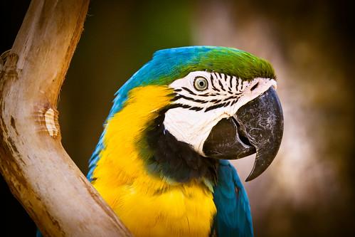 [フリー画像] 動物, 鳥類, ルリコンゴウインコ, 201104190500