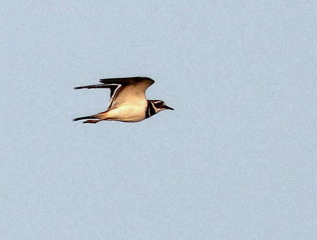 Killdeer in-flight 20110412