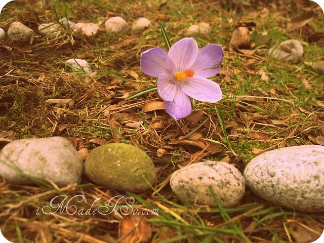 purple crocus in rock garden