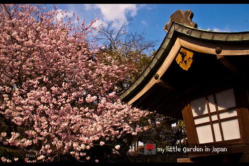 Sakura-in-Tokyo-9