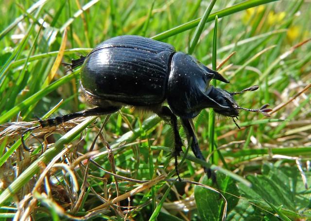 24165 - Minotaur Beetle, Rhossili, Gower