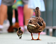 Baby's Day Out...[Explore #45] (Ring of Fire Hot Sauce 1) Tags: cute disneyland duckling ducks babyduck canont1i
