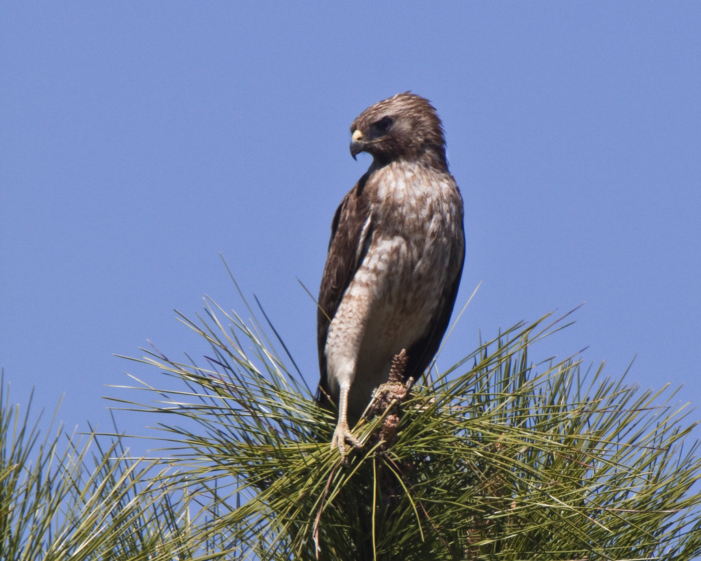 Florida Red-shouldered Hawk