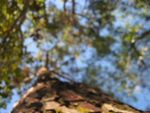 C.Picado blur 100% pino
