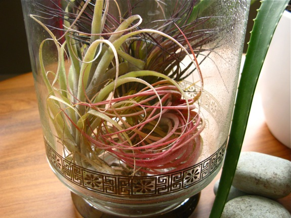 old faithful tillandsia air plants 007
