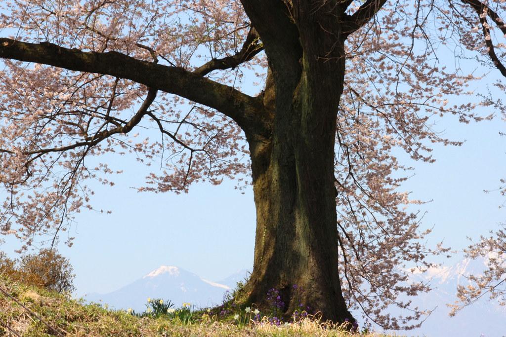 Sakura Photo 2011Wanizuka cherry blossom (3)