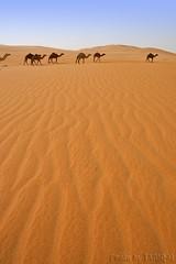 The Desert (TARIQ-M) Tags: texture landscape sand waves desert dunes camel riyadh saudiarabia           canon400d        canonefs18200mmf3556is