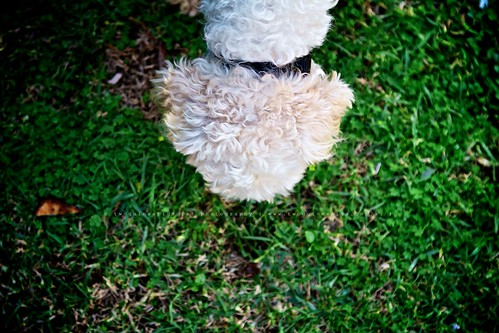 SNEAK Mozart poodle cross maltese dog photography by twoguineapigs Pet Photography