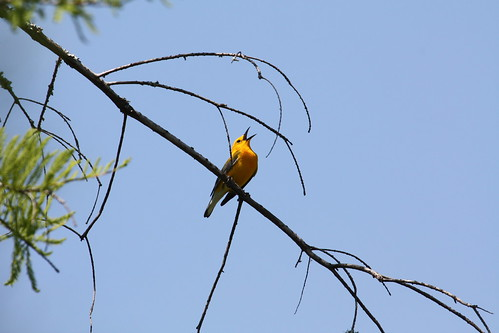 prothonotary warbler. by ricmcarthur