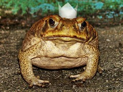 Frog Prince's Paper Crown (marbleplaty) Tags: fun amphibian prince frog crown frogprince naturesfinest h7 artisticexpression supershot bej golddragon anawesomeshot diamondclassphotographer flickrdiamond theunforgettablepictures goldstaraward marbleplaty thechallengefactory pregamewinner ugready