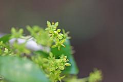 自然環境保全センターのニシキギ(Flower, Nature Preservation Center, Kanagawa, Japan)