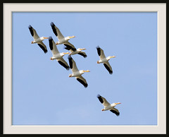 Tight White Pelican Formation (vidterry) Tags: moving pelican whitepelican americanwhitepelican whitepelicansinflight flyingwhitepelicans dsc03379d7k
