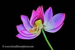 Lotus Flower # 53 (Amazing Tan Photos) Tags: flowers meditation  macrophotography   flordelotus lotusflowers flowerphotography fiorediloto hoasen   lotosblume bungateratai lotusflowerpictures   kwiatlotosu lotusflowerimages lotusblomst lotusflowerphotos fleurdeloto flordeloto lotusbloem lootuskukat lotosovkvty lotusblommorlotusblomster buddhistsymbol