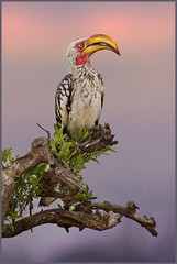 Banana Bird (hvhe1) Tags: africa sunset bird nature animal southafrica bravo branch wildlife safari pastels perch afrika dier hornbill vogel gamedrive gamereserve southernyellowbilledhornbill tockusleucomelas malamala zuidafrika neushoornvogel hvhe1 hennievanheerden bananabird zuidelijkegeelsnaveltok