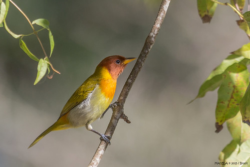Saíra-ferrugem  (Hemithraupis ruficapilla) - Rufous-headed Tanager