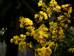 Yellow florets in all their glory (Shomirroy) Tags: flowers yellow florets copperpod fiftyplus radhachura nikoncoolpixp100