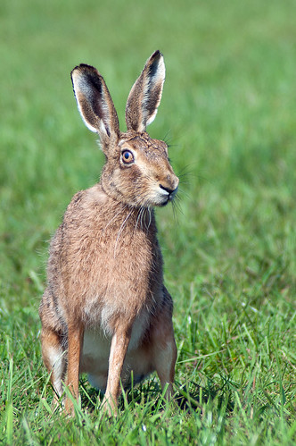 Hare by Dan Baillie