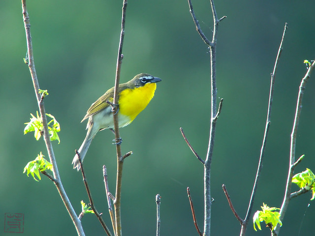 Yellow-breasted Chat, Apr. 2011