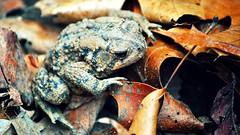 I Am Toad (DavidGuthrie) Tags: leaves spring nikon toad d3000