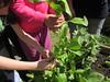 Raccolta degli spinaci 21