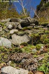 european reptile snake svizzera habitat viper asp autun