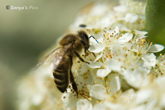 Bee on pyracantha (sonya'spics) Tags: macro closeup flying blossom insects bee pyracantha