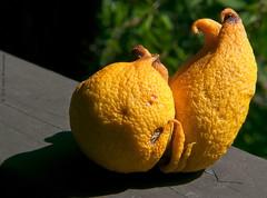 Aging Lemon (Gary Goodenough) Tags: macro yellow fruit lemon bokeh rail 5closeuplens macromondays microfourthirds panasonicgh1 lenslumix14140mmf4058