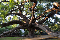 Treaty Oak in Jacksonville, FL (James Willamor) Tags: park city urban tree green oak downtown florida central center historic jacksonville fl jax tready