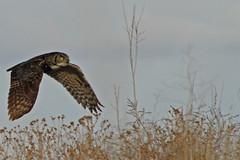 Stealth at low altitude (dfshunt44 (AKA Elkaholic)) Tags: bird southdakota blackhills canon nest flight sd owl stealth rc rapidcity greathornedowl bh owlets canon7d dfshunt44