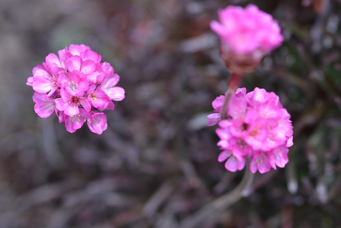 ARMERIA maritima 'In the Red'