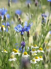 P5276680 (danielawoe) Tags: flower blumen olympus blume blüten bluete e500 olympuse500
