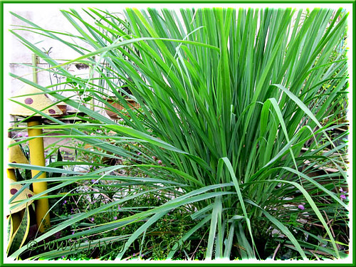 Cymbopogon citratus (Lemon Grass, Oil Grass), at our frontyard - shot May 29 2011