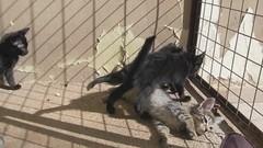 filminho dos filhotes da Lisbela brincando ao sol (resGatinhos) Tags: gatos gato gatinho adoteumgato gatopreto gatobranco gatoparaadoo adoogato adotargato