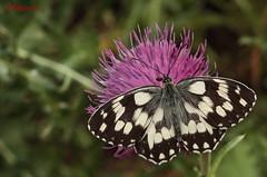Melanargia galathea (Voltaire96) Tags: macro fauna animale farfalla insetto nymphalidae melanargiagalathea satyrinae parcodelticino sentierodellefarfalle melanargiini