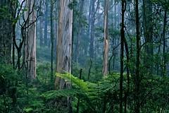 |II|||||IIII||I| (oli bryant) Tags: morninglight australia victoria nophotoshop raysoflight thedandenongs theplacetobe sooc straightoutofcamera ondayslikethese amorninginthedandenongs