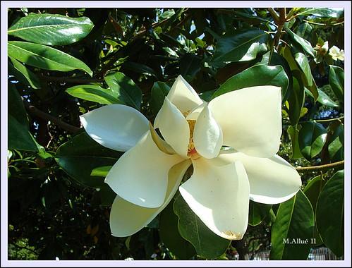 Magnolia by Miguel Allué Aguilar