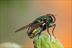 Green Bottle Fly Over Day Lily (Jeannot7) Tags: ontario macro backyard blowfly cobourg greenfly nikkormicro105mmf28 luciliasericata commongreenbottlefly nikond300s