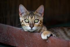 2 (anna pozzi) Tags: portrait cat eyes spot occhi breed gatto rosette ritratto bengal guru bengala razza macchie