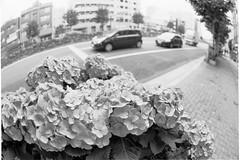 Hydrangea in town.