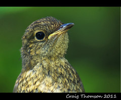 Juvenile Robin  (Strathaven, South Lanarkshire) (Zen Moments Photography) Tags: baby bird robin birds closeup scotland close song south ngc young scottish npc friendly juvenile fledgling lanarkshire strathaven fledgeling abigfave thursh mygearandme ringexcellence dblringexcellence tplringexcellence aboveandbeyondlevel1
