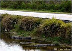 Along the Tamiami Highway, Scenes from Big Cypress (alan jackman) Tags: road water canal highway florida alligator national wetlands everglades preserve bigcypress tamiami jackmanonjazz alanjackman
