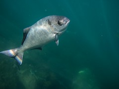 PA070686.jpg (Michael Bartosek) Tags: olympusepl3 catalinaisland olympus1442mm underwater catalina diving california pacificocean