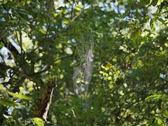 Balance Challenge (Corgibird) Tags: nature outdoors web spiderwebs alligator marsh green raccoon animaltracks water autmn light shadows lightandshadows sunlight backlit mud algae pond