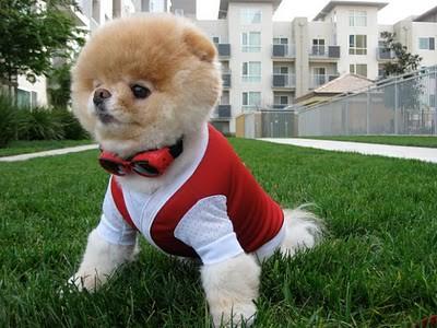 boo_Pomeranian_Dog_41