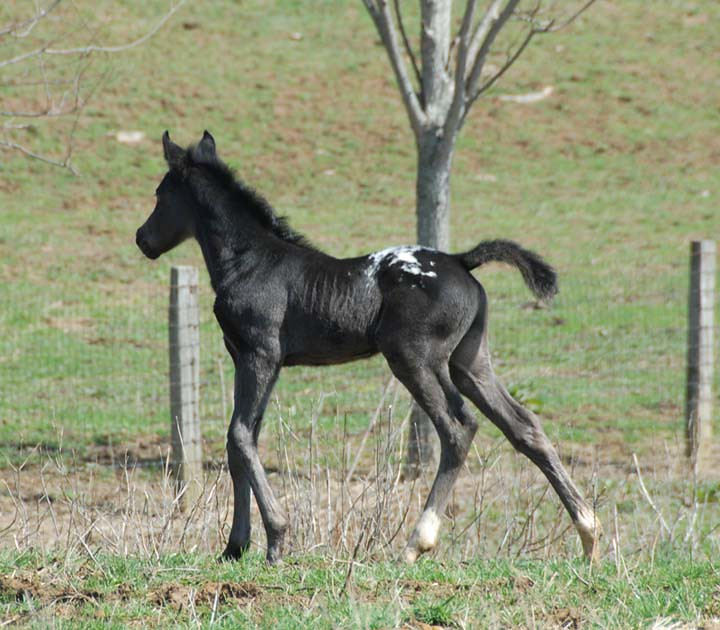 The World's most recently posted photos of appaloosa and