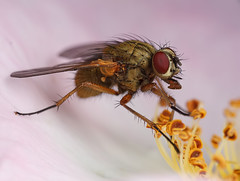 A fly in a wild rose (steb1) Tags: macro nature rose insect fly diptera