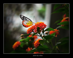 butterflies and flowers #6 [explored] (e.nhan) Tags: flowers light flower art nature closeup landscape colorful colours dof bokeh arts butterflies backlighting enhan blinkagain