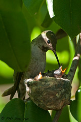 Image of Anna's Hummingbird feeding chicks at nest (Phil Seu) Tags: california nest feeding wildlife chicks annas hummingibrd