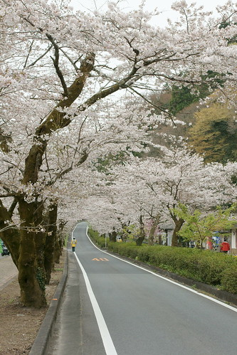Sakura tunnel of Ieyama