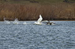 The Chase is On (violetflm) Tags: bird water swan native d2x goose il chase april cf34570
